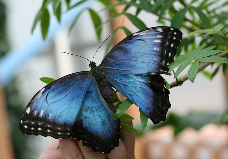 A Blue Morpho butterfly at the Windmill Garden Centre & Butterfly House in Medicine Hat, AB