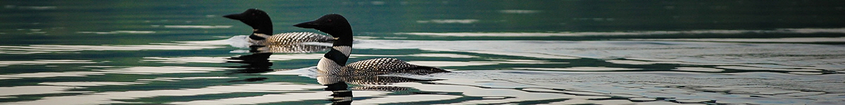 Loons swimming on a lake in Bancroft, Ontario | Photo: Clark Young